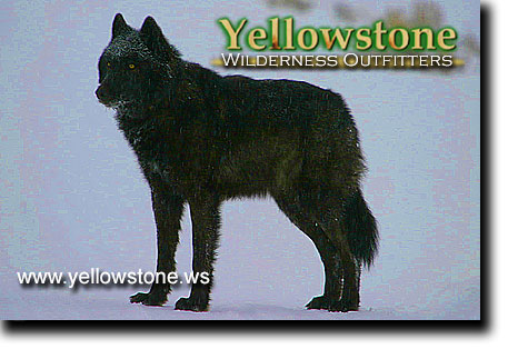 Black Wolf, Yellowstone