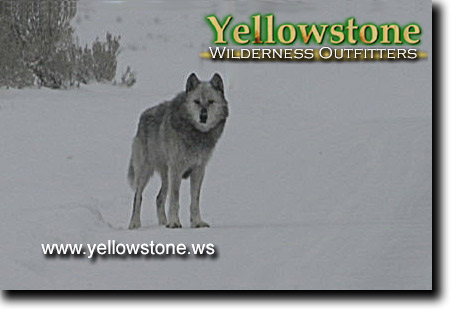 Gray Wolf, Yellowstone
